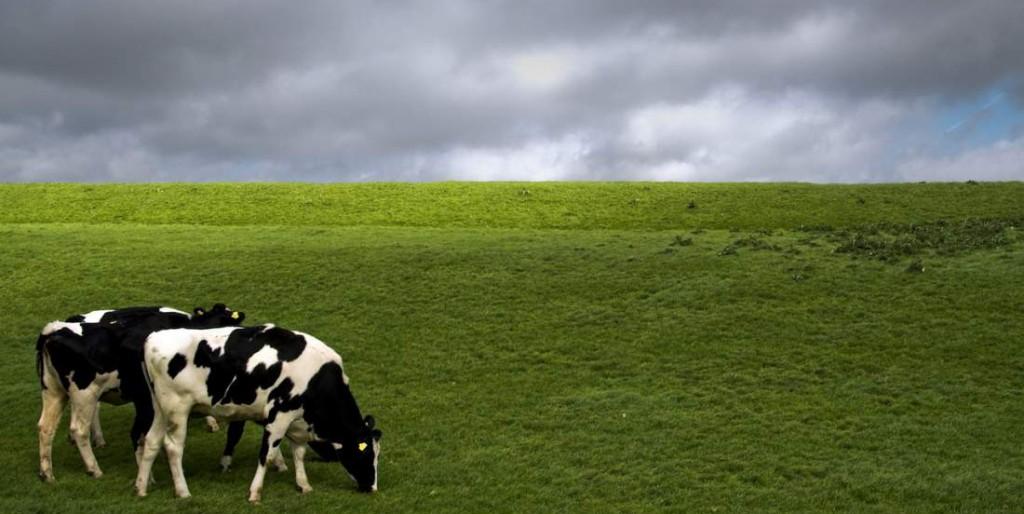 cows-1386869-1279x851__1450785356_5.178.50.202