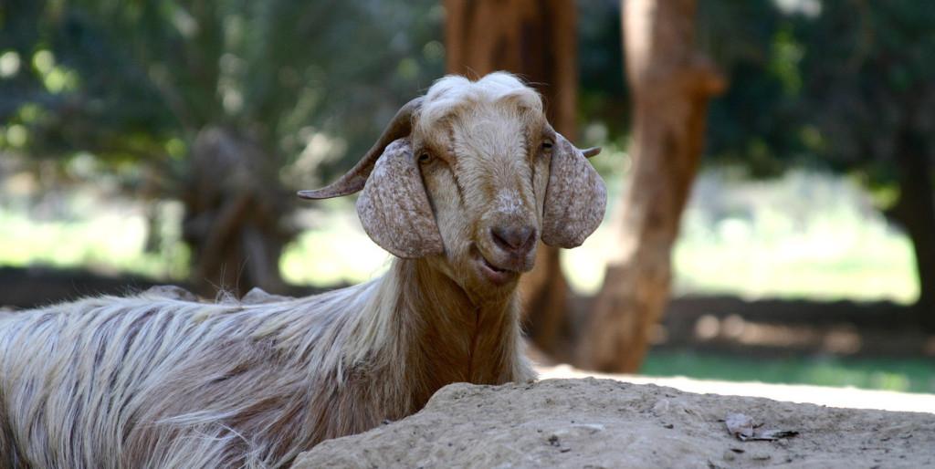 goats-3-1522479-1279x852