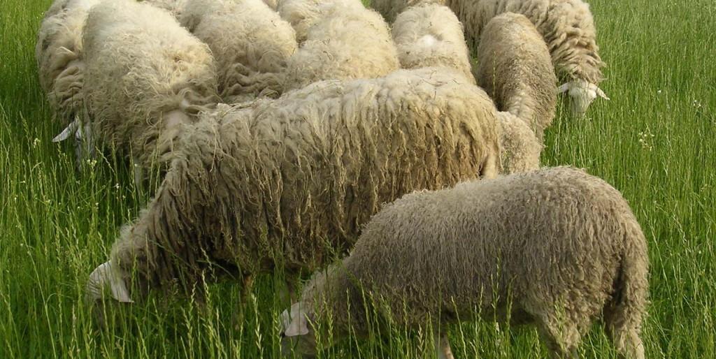 sheeps-group-1494240-1280x960