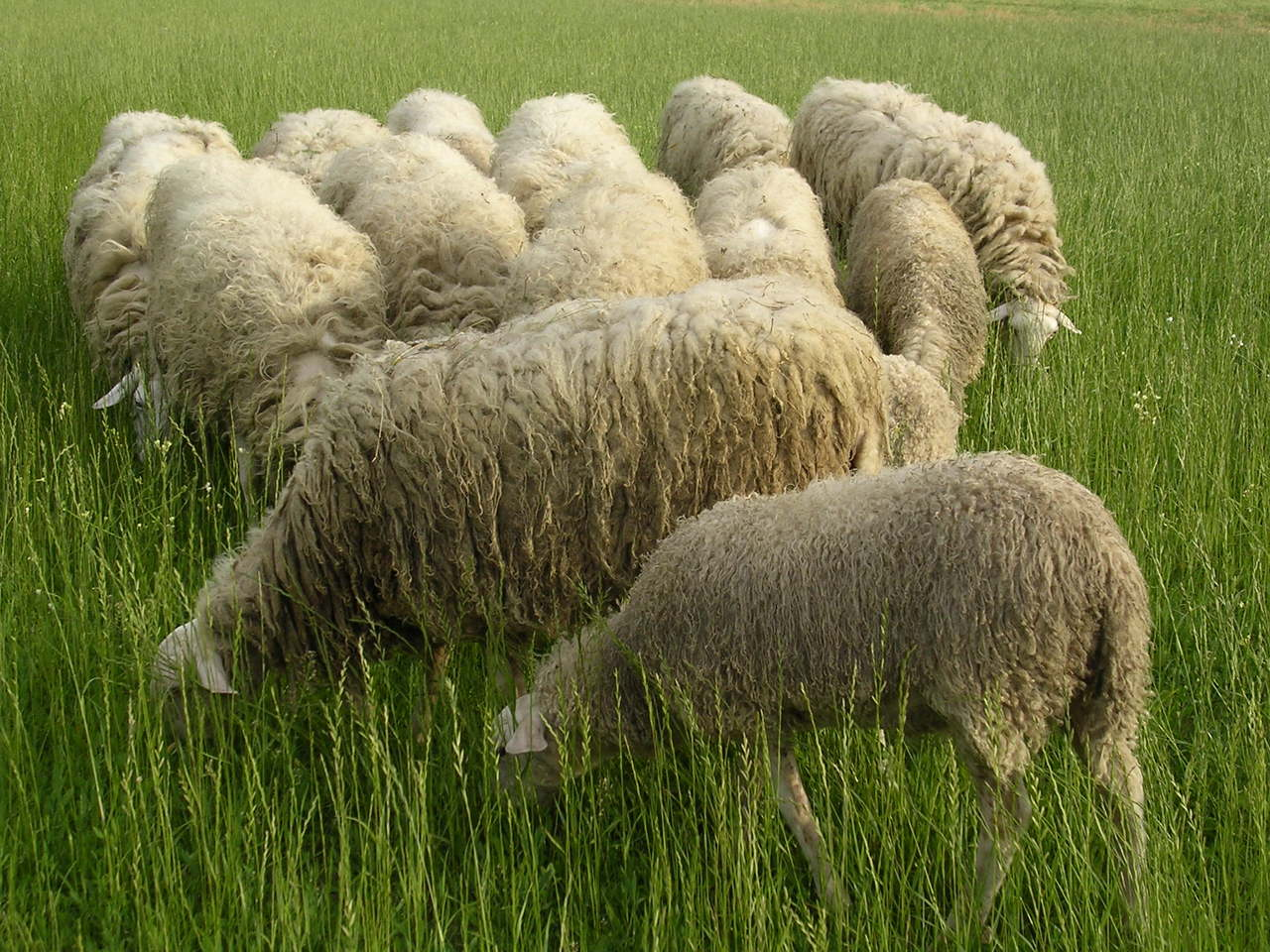 sheeps-group-1494240-1280x960