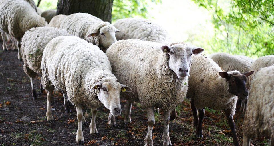ovce v háji
