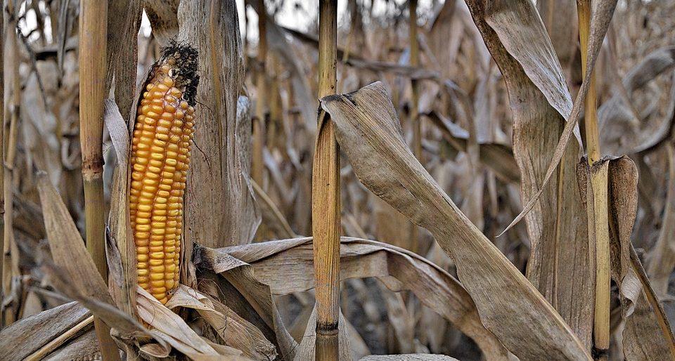Kukurica suchá