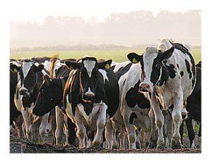 Kravy stádo HF